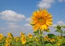bigstockphoto_field_of_sunflowers_5002924